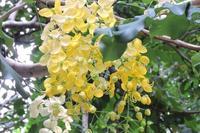 DSCN0045ゴールデンシャワーの花.jpg